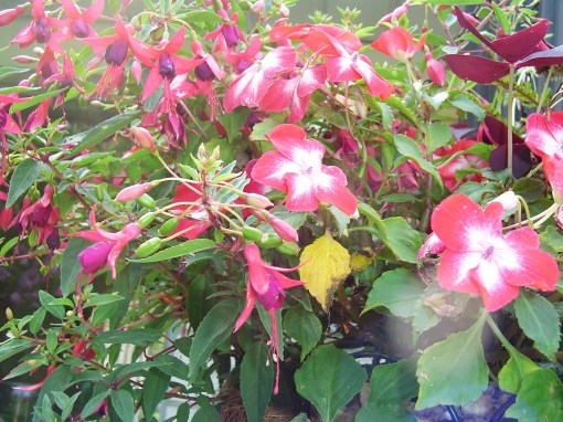 Fuschia with Impatiens in a basket