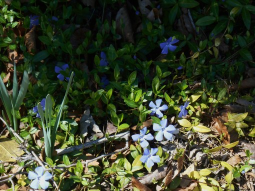 Perwinkle flowers bloom on the Vinca minor vine in early spring.