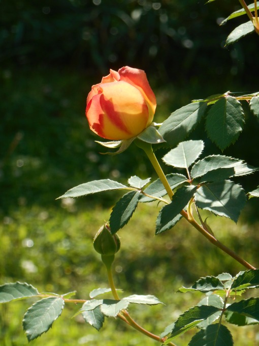 May 10, 2014 first roses of summer 004