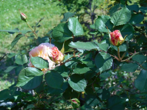May 10, 2014 first roses of summer 008