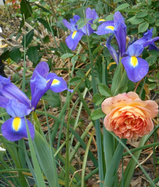 "Rose, ""Lady of Shallot"" with Dutch Iris."