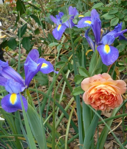 "Rose, ""Lady of Shallot"" with Dutch Iris."