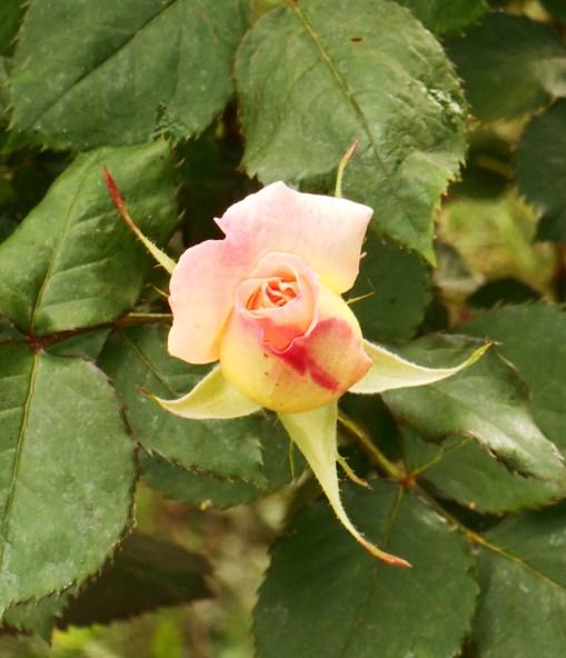 An unkown Floribunda rose