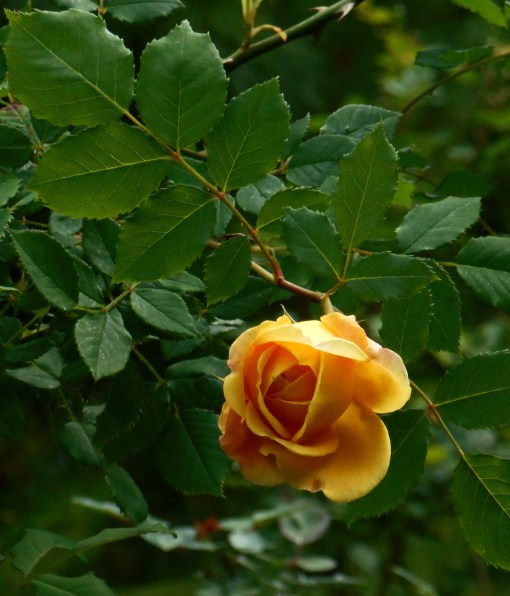 """Golden Celebration,"" a David Austin English Shrub rose blooming today for the first time this season."