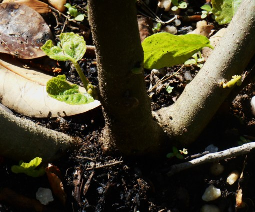 New growth begins at the base of a fig tree, in deep shade.