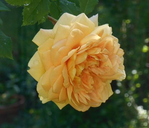 May 11,2014 Bamboo and roses 017