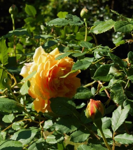 May 11,2014 Bamboo and roses 018
