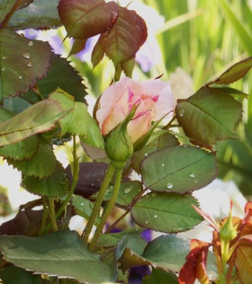 May 11,2014 Bamboo and roses 024