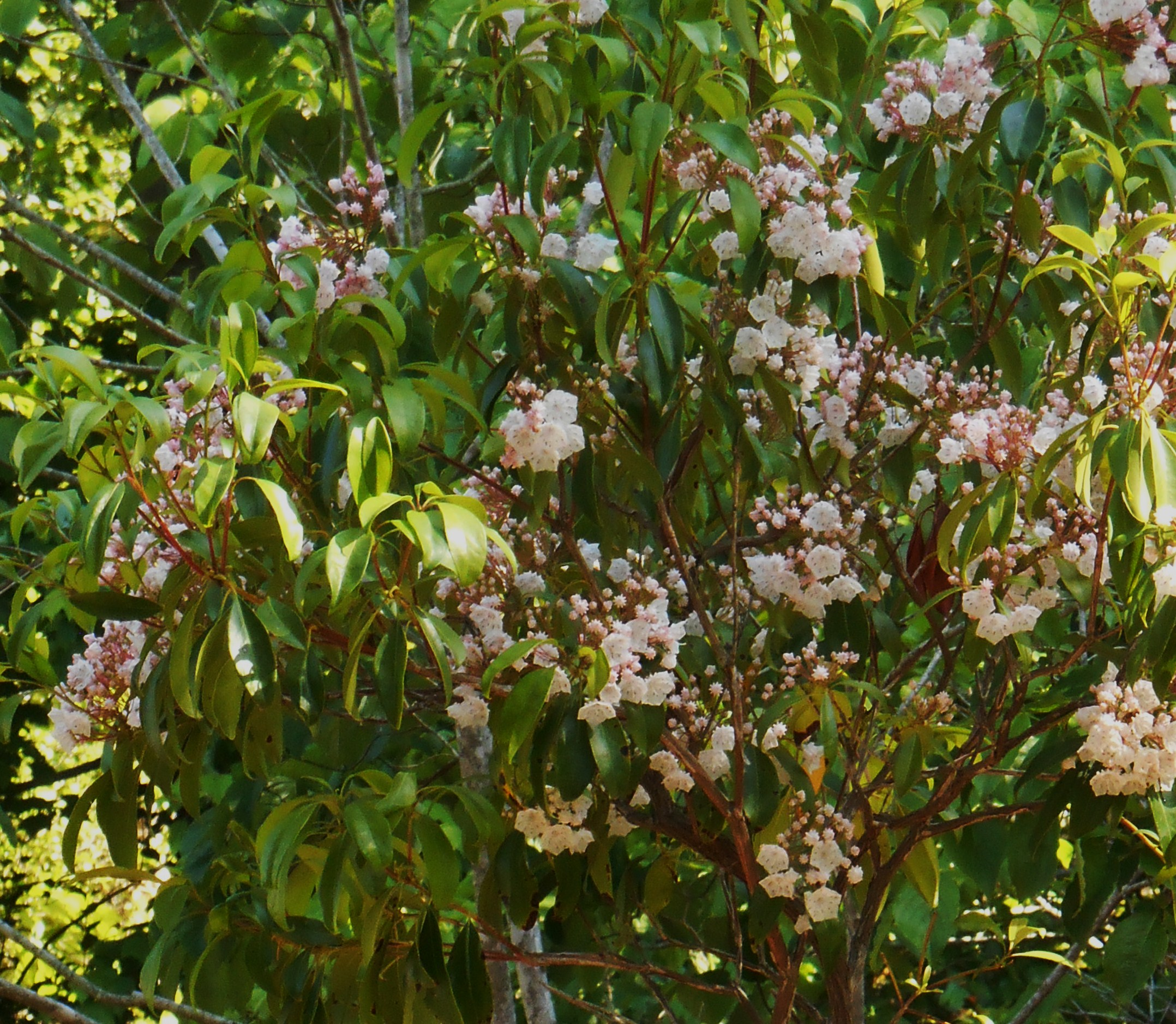 May 11,2014 Bamboo And Roses 036 Mountain Laurel