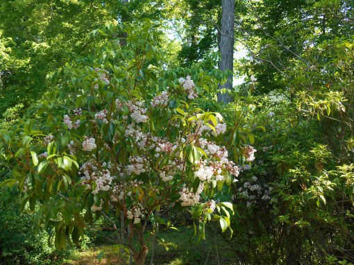 Native Mountain Laurel in our garden