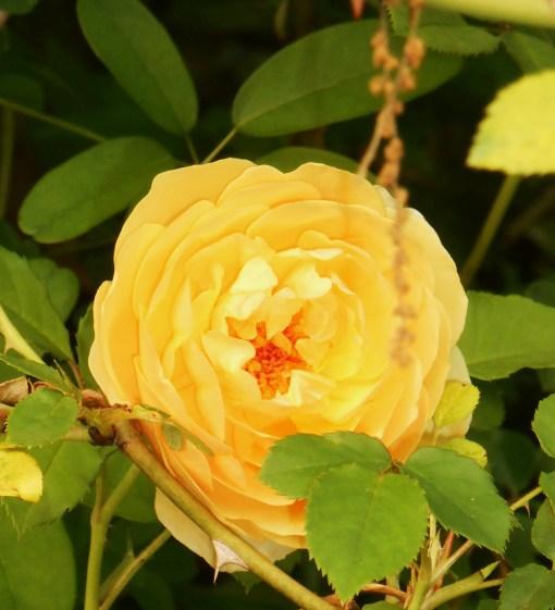 May 14, 2014 roses 028