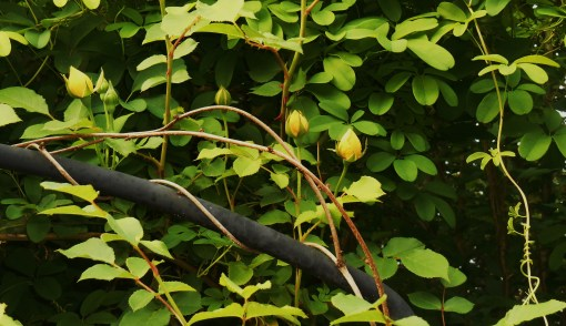 Chocolate Vine, Akebia quinata, twisting and spiraling as it climbs.