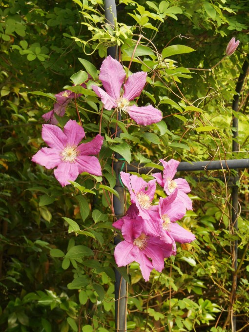 Two Clematis vines share the arbor with the rose and Chocolate Vine.