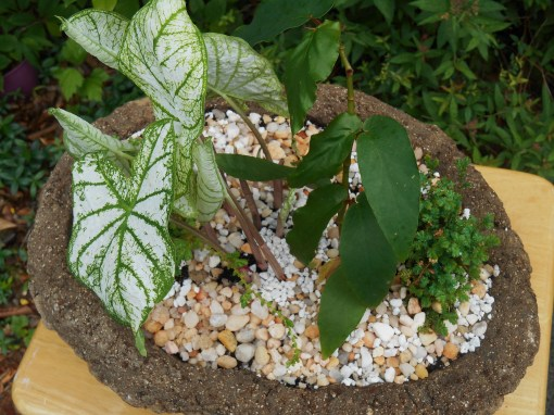 Caladiums and a cane Begonia, which will have white blooms fill this pot.