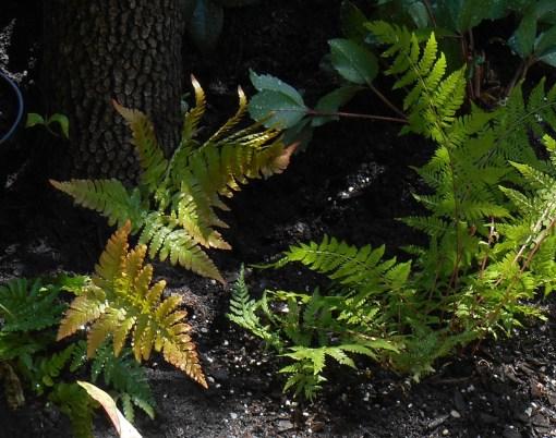 May 19, 2014 new raised bed fern garden 008