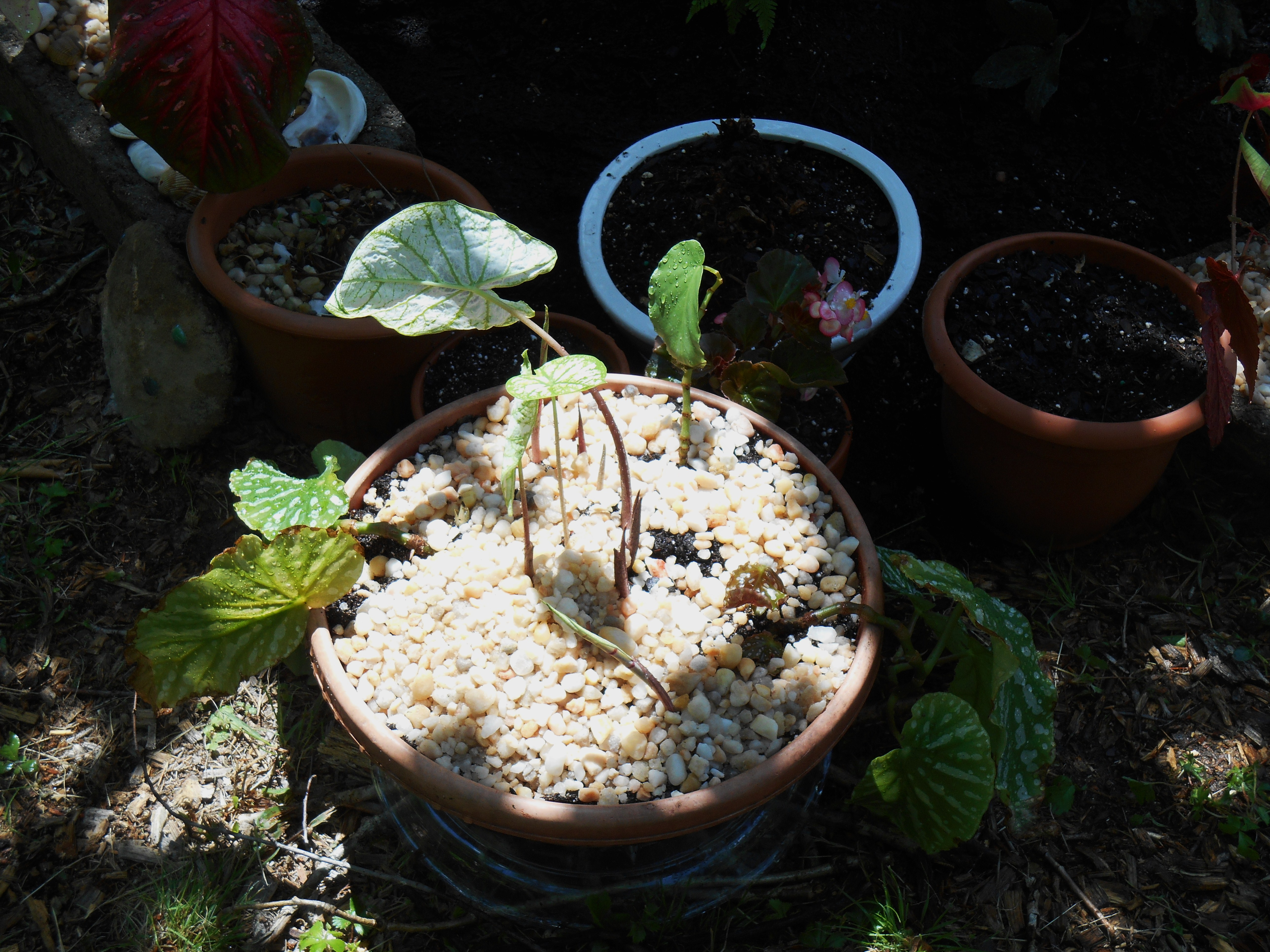 Rooted Begonia cuttings join sprouting Caladiums in this newly planted recycled plastic pot.