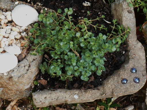 Sedum planted into a pocket made from a piece of the broken pot.