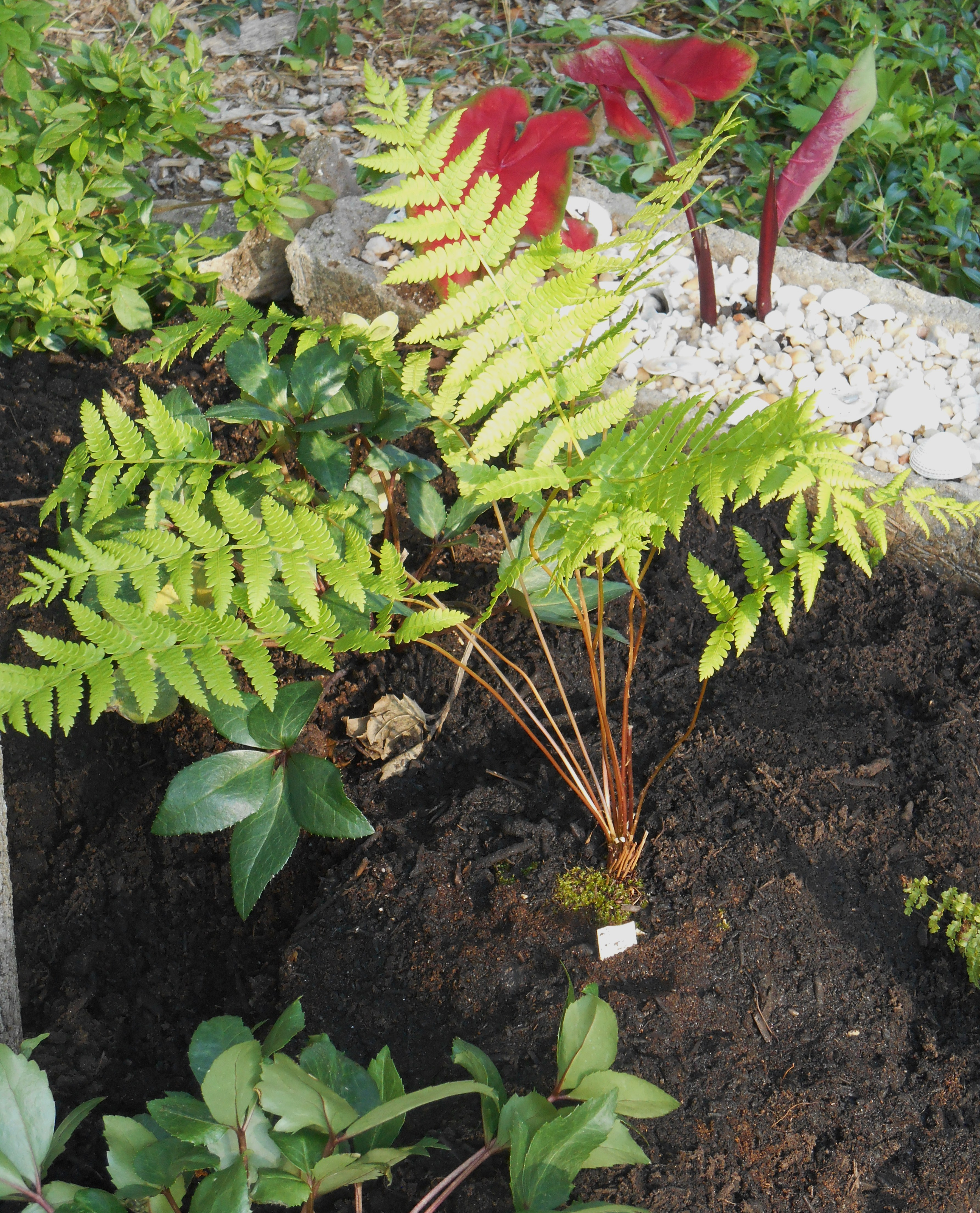 May 19, 2014 new raised bed fern garden 031