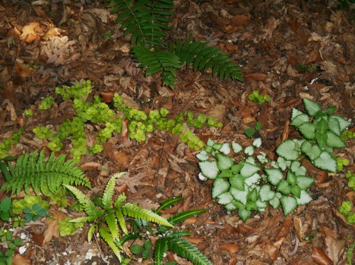 Ferns and Lamium grow in one of the shadiest areas of our garden, below a stand of Hazel trees.