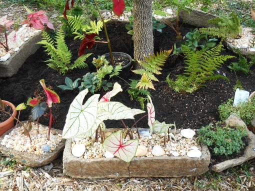 The third hypertufa trough, which cracked, now holds Caladiums.