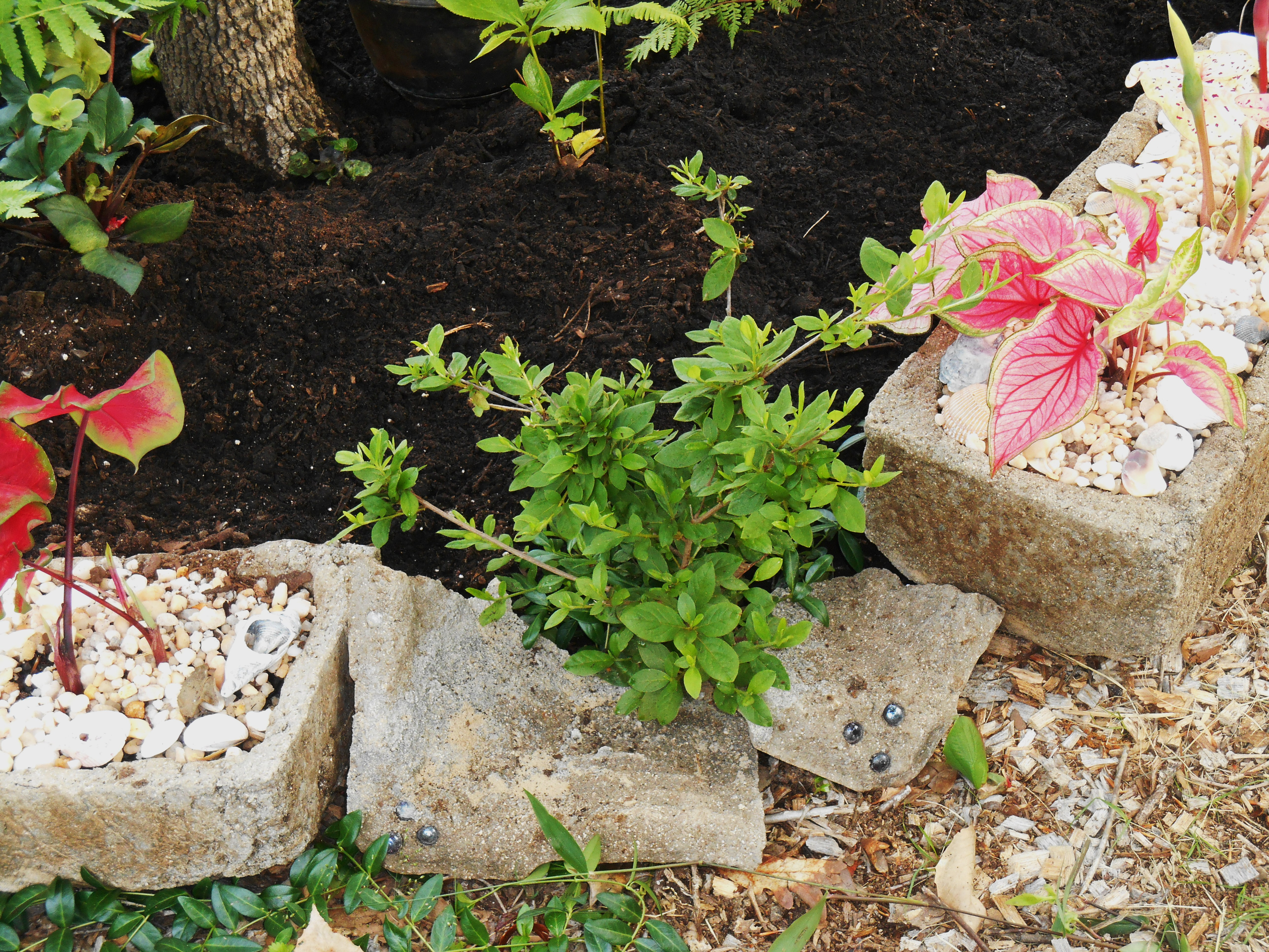 """A few badly grazed Azaleas fall along the peremiter of this new raised bed.  Broken pot pieces help form a low """"wall"""" to hold soil behind them."""