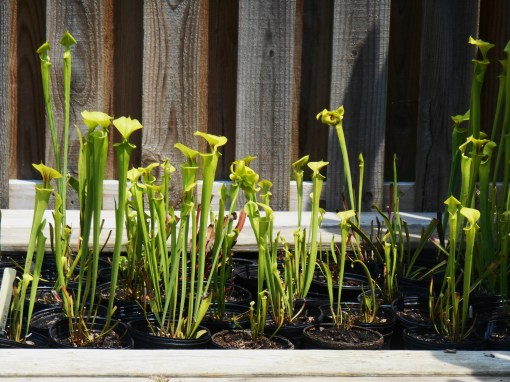 Sarracenia flava, propagated by our local nursery.