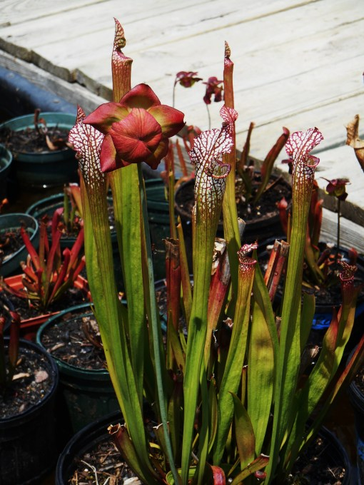 Sarracenia leucophylla grows to three feet tall.  Its showiest pitchers appear in late summer and early autumn.