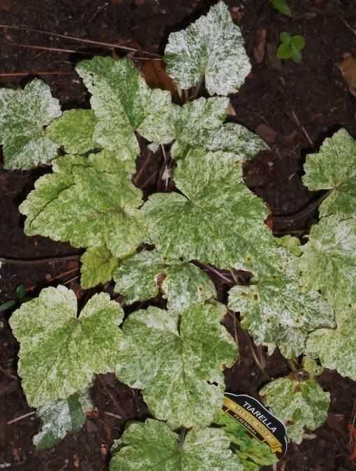 Tiarella growing in the display gardens at Forest Lane Botanicals.
