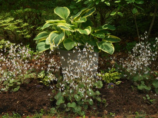 Tiarella blooms in partial shade.  Used here at Forest Lane Botanicals in the shadow of mature Azaleas.