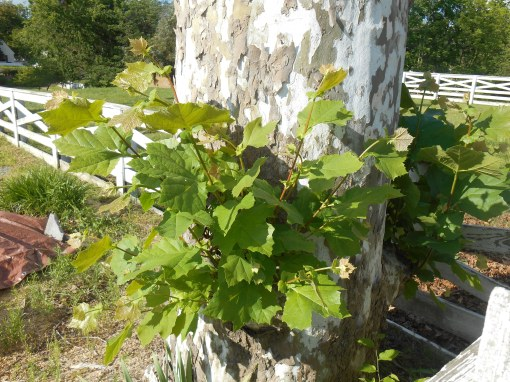 The distinctive leaves and bark help identify this tree as a Platanus
