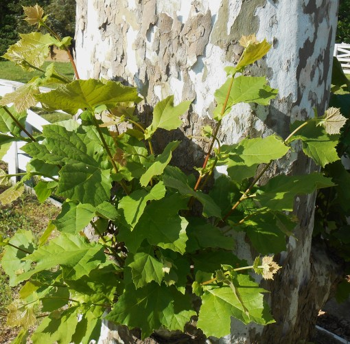 May 24 2014 vines 027
