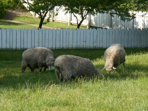 Sheep living in a field at Colonial Williamsburg
