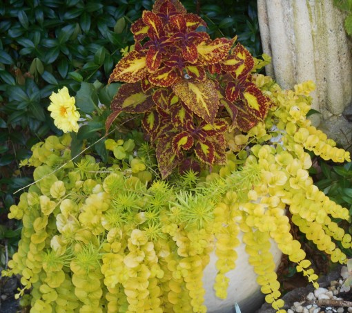 Coleus with a new Dhalia in its pot, Creeping Jenny and Sedum.