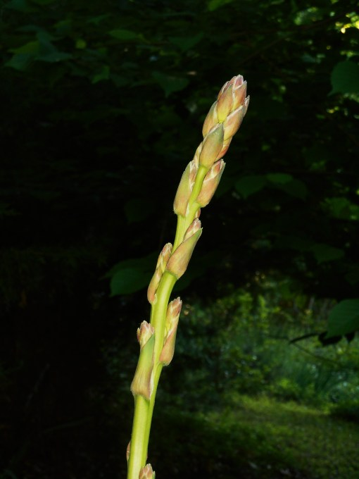 A flower stalk of Adam's Needle, a variety of Yucca, will open with white flowers in this very shady spot beneath trees.