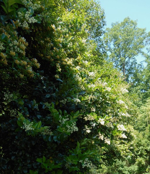 Ligustrum shrubs, blooming now in our garden, add to the sweetness of the summer breezes.