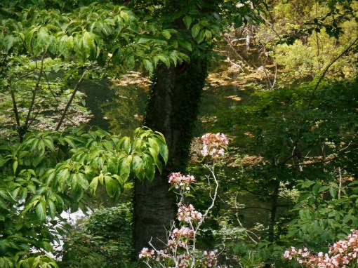 Our friends' forest garden, full of Mountain Laurel and lush with trees and ivy.