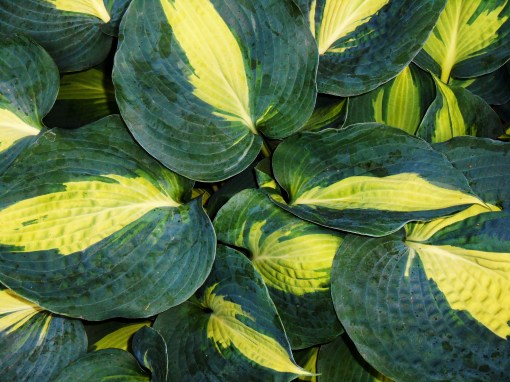 Hosta growing in a friends' garden.