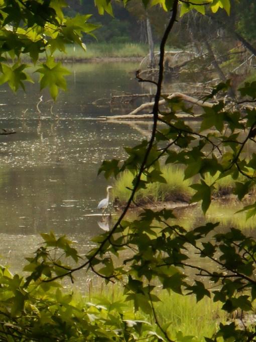 May 27. 2014 Herons 037