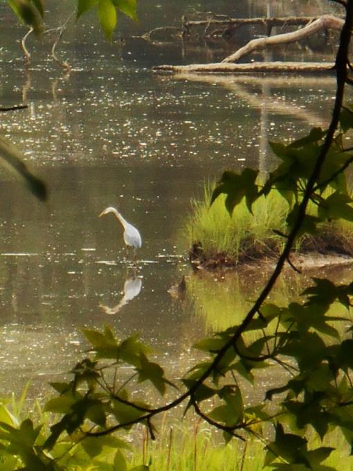 May 27. 2014 Herons 039