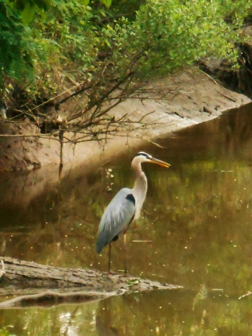 May 27. 2014 Herons 063