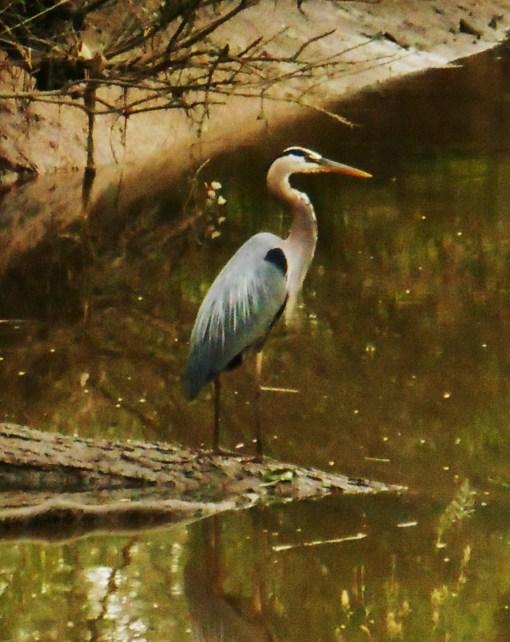 May 27. 2014 Herons 064