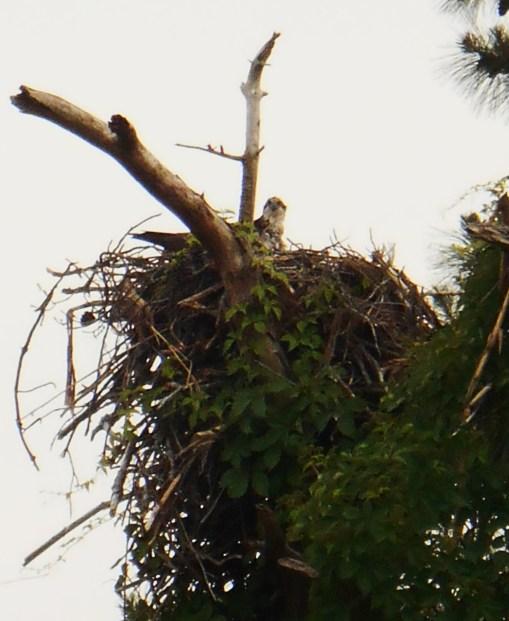 May 27. 2014 Herons 066