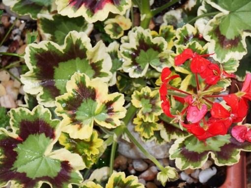 Tricolor annual geranium