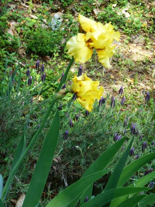 """Iris with Lavender """"Otto Quast"""""""