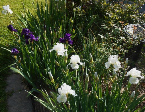 "Re[blooming Iris cultivars ""Rosalie Figge"" and ""immortality"""