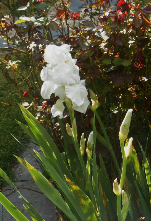 German Iris in a different bed with roses.