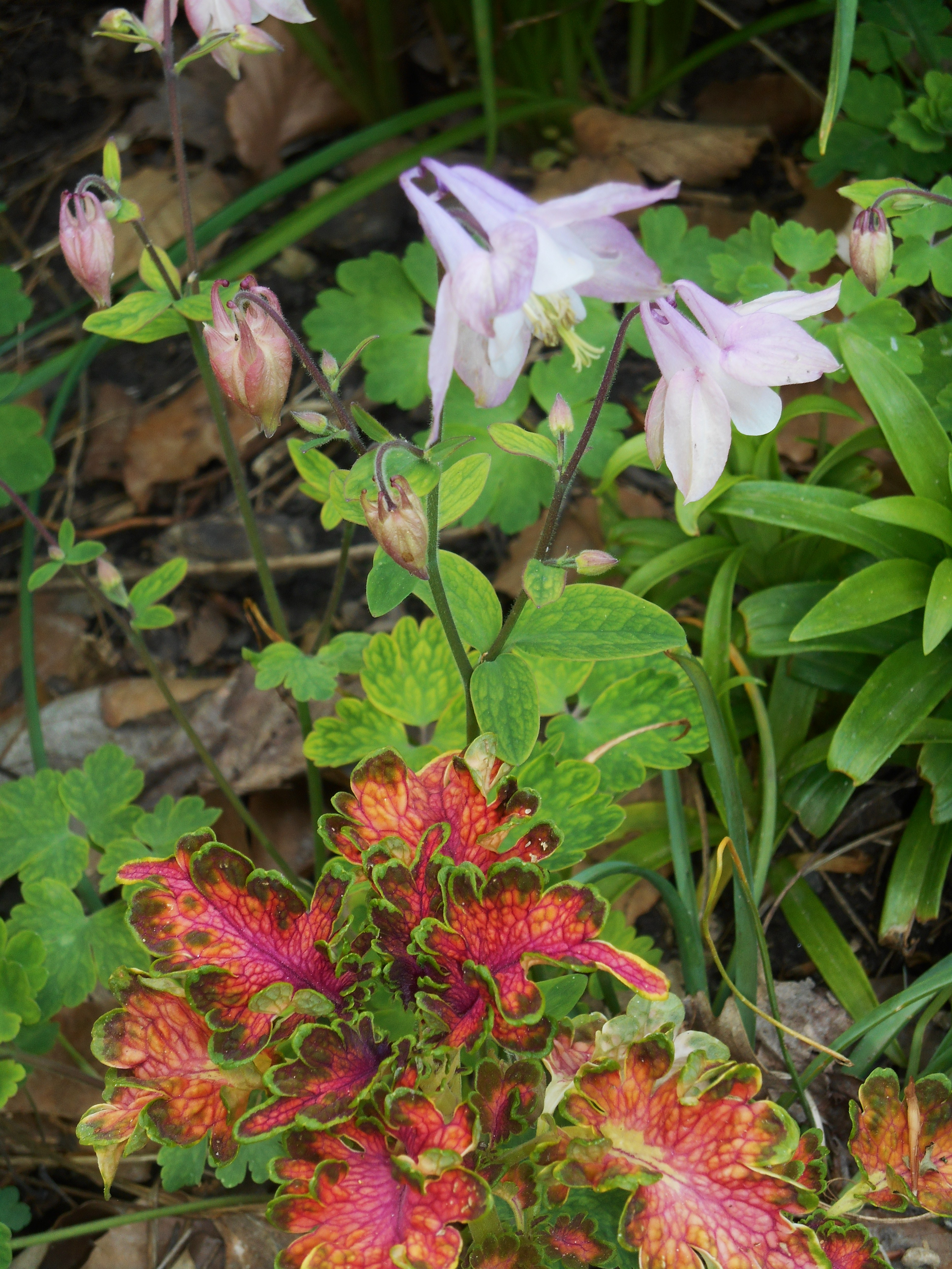 Columbine flowers forest garden perennial columbine which also seeds itself growing here with a newly planted coleus izmirmasajfo Images
