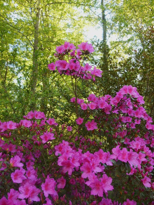 Azaleas prefer to grow under deciduous trees.