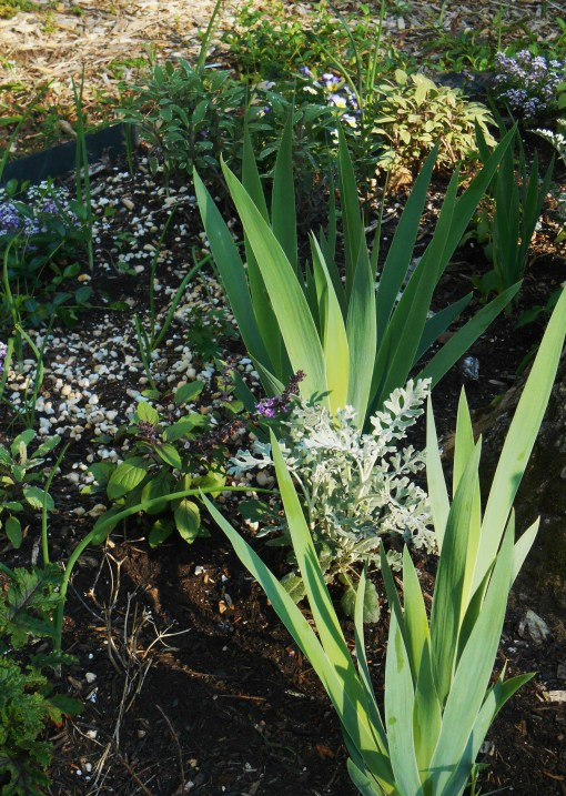 Iris grow here with Dusty Miller, culinary Sage, Allyssum, and
