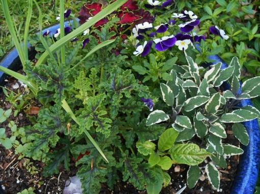 Scented geranium, culinary Sage, garlic